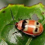 Leaf beetle, Asphaera sp.? Chrysomelidae thumbnail