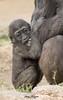 Little Leslie (ToddLahman) Tags: littleleslie leslie kokamo female mammal westernlowlandgorilla gorilla babygorilla beautiful winston sandiegozoosafaripark safaripark outdoors canon7dmkii canon canon100400 closeup escondido eyelock