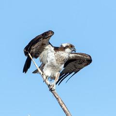 Osprey (Ed Sivon) Tags: american canon nature lasvegas wildlife wild western southwest desert clarkcounty clark vegas birdofprey bird henderson nevada osprey park