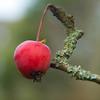 Crab-apple in winter, pristine (Dave_A_2007) Tags: apple fruit nature plant tree stratforduponavon warwickshire england