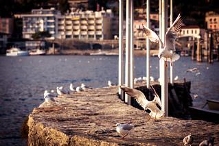 Seagulls in Ascona