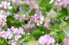 Bumblebee 172 (Christa R.) Tags: bumblebee bee insect brownbeltedbumblebee freephotos creativecommons bombus apidae flyinginsect flyingbumblebee