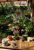 Gardening Tools (philipbouchard) Tags: garden backyard flowers hydrangea tools gardening sydney newsouthwales australia deewhy pots clippers nsw