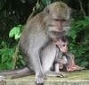 softly,softly, little catchee monkeys ... (dodagp) Tags: indonesia bali padangtegal ubud monkeyforest thesacredmonkeyforestofpadangtegal longtailedmonkeys macaques motherchild protectivemums anthripomorphiccreatures creatureswithhumanattributes
