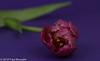 "In our livingroom, ""Dutch Double Tulips"" (A.J. Boonstra) Tags: tulp tulip flowers closeup eefde canon canon70d canoneos ef100mmf28lmacroisusm falconeyesskk2150d falconeyessoftboxumbrella falconeyes jinbeiwhiteumbrella jinbei"
