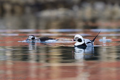 Harelde boréale-Clangula hyemalis - Long-tailed Duck 1773_DxO.jpg (Zoizeaux de Gabriel) Tags: 500mmf4 batsfjord birdsafariofsweden clangulahyemalis danielgreen finnmark hareldeboréale longtailedduck nikond5 norvège oiseauxnet varanger