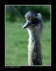 Avestruz. (jmadrigal09) Tags: jmadrigal ave pájaro bird nature naturaleza avestruz