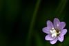 flower (42jph) Tags: bolton abbey yorkshire uk england nikon d7200 flower macro blue purple coseup closeup close up nature wild 105mm f28g edif afs vr micro lens