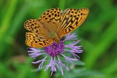 Argynnis paphia (Hugo von Schreck) Tags: kaisermantel argynnispaphia hugovonschreck macro makro insect insekt butterfly schmetterling falter canoneos5dsr onlythebestofnature tamron28300mmf3563divcpzda010