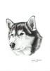 Husky siberiano (sergiomorenomerino1) Tags: husky dibujo grafito realismo dibujorealista draw realism graphite lapiz pencil