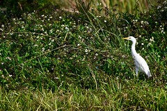 Cattle Egret (bmasdeu) Tags: cattle egret strolling roadside meadow flowers weeds grasses