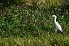 Cattle Egret (bmasdeu) Tags: cattle egret strolling roadside meadow flowers weeds grasses