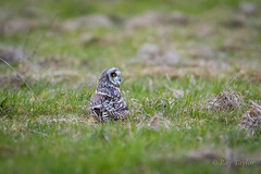 Grazing (Bondy Taylor) Tags: bop hunting longgrass shortearedowl wildlife bird eating feathers nature perched possing wild wiltshire