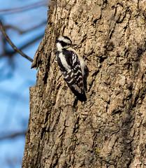 Downy Woodpecker (johnny4eyes1) Tags: woodland pelhambaypark woodlandcreatures downywoodpecker winter nature bird woodpecker outdoors forest downy woods hunterisland cold