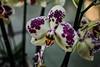 Polka-dot Orchid (CesareZucco) Tags: orchid orchidea flower fiore colours colori nature natura plant pianta beauty elegance light luce nikon white bianco purple viola polkadot pois screziata fucsia green verde bellezza eleganza petals corolla petali