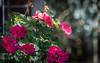 Happy Bokeh Wednesday (Jims_photos) Tags: texas unitedstates outdoor outside adobelightroom adobephotoshop austintexas daytime flowers jimallen jimsphotos jimsphotoswimberleytexas lightroom landscape nopeople nikond750