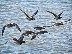 Brant (Goggla) Tags: nyc new york manhattan battery park urban wildlife bird brant goose geese batterypark