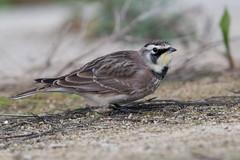 Horned Lark-51 (davidgardiner8) Tags: american birds hornedlark larks stainesreservoir