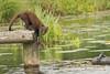 Boommarter in de Weerribben (weerribbenfotograaf) Tags: zoogdieren