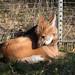 Der Mähnenwolf genießt die Sonnenstrahlen