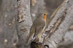 IMG_4109 (Rorals) Tags: bird birdsofbritain rspb cuningarloop cuningarwoodlandpark winterwatch springwatch songbird gardenbirdwatch wildlife britishwildlife robin