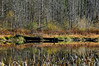 Edges (Prestidigitizer) Tags: vancouver water pentaxk3 pentaxda50135mm slough lake branches trees cattails bulrushes typha reedmace autumn fall colors seasons