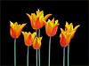 Orange & Gold (Cornishcarolin. Stupid busy!! xx) Tags: somerset httpswwwnationaltrustorguktintinhullgarden flowers plants nature bulbs tulips blackbackground 1001nights 1001nightsmagiccity 1001nightsmagicgarden