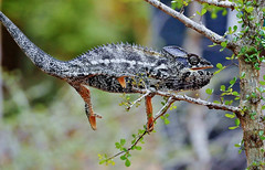 Warty a/k/a Spiny Chameleon (Furcifer verrucosus) (Susan Roehl) Tags: madagascar2017 islandofmadagascar offtheeastcoastofafrica berentyreserve wartyakaspinychameleon furciferverrucosus southerncoast chameleon animal reptile endemic westpartofisland ariddisturbedland nearthesea terrestria lowbushes feedsoninsects lays30to60eggsayear 6motoayear tomaturecoldblooded canchangecolors prehensiletail diurnal solitary oftenaggresive bulgingeyes moveindependently longtongues opportunistic sueroehl photographictours naturalexposures panasonic lumixdmcgh4 100400mmlens handheld cropped macro ngc coth5