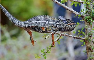 Warty a/k/a Spiny Chameleon (Furcifer verrucosus)