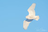 Snowy Owl (Ron Gallagher Photography) Tags: sault saultstemarie snowy snow snowyowl arctic arcticowl arcticbird garden gardenriver bird birds birding birder birders birdofprey flight feather feathers hunting hunter