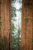 Giants (Katka S.) Tags: usa america united states sequoia national park tree big huge two twins forest mountains mist