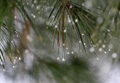 Canopy (mpalmer934) Tags: conifer pine evergreen fir water droplets drops rain sleet needles branches