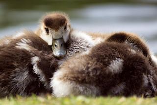 Egyptian Goose Goslings
