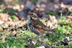 Redwing (stellagrimsdale) Tags: redwing bird park sunlight speckeledbreast thrushfamily grass green red birding wildlife