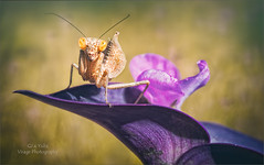 Bright Eyes (Red Gecko Photography) Tags: green purple nymph mantis macrodreams macro closeup marbella spain