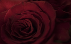 Seduction (Macro Lord) Tags: 40mm nikon d3300 love red rose valentines day flower