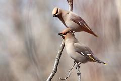 Bohemian Waxwing, Bombycilla garrulus (jlcummins - Washington State) Tags: bird yakimacounty washingtonstate snowmountainranch bohemianwaxwing widlife fauna tamronsp150600mmf563divcusd canon bombycillagarrulus