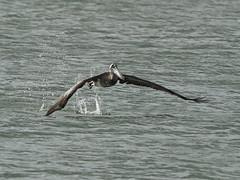 Brown Pelican - Pelecanus occidentalis, Biscayne National Park, Homestead, Florida (judygva) Tags: