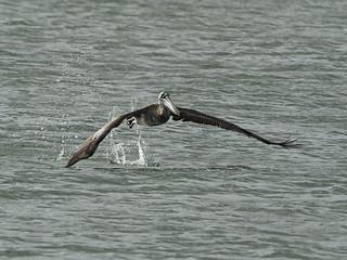 Brown Pelican - Pelecanus occidentalis, Biscayne National Park, Homestead, Florida