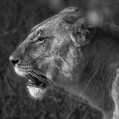 Lioness (matttrevillion) Tags: chobe africa lion lioness khwai botswana