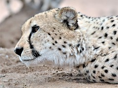 Patience. (pstone646) Tags: cheetah wildlife animal nature africa closeup safari mammal bigcat southafrica fauna