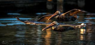 Pelican Patrole