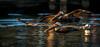 Pelican Patrole (Chris St. Michael) Tags: pelican wildlife wildlifephotography water nature naturephotography bird birdinflight
