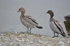 Two Australian Wood Ducks (Chenonetta jubata) (Urban and Nature OZ) Tags: duck australianwoodduck bird birding ducks