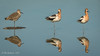 American Avocets with a Willet friend (Bob Gunderson) Tags: americanavocet birds california northerncalifornia pier94saltmarsh recurvirostraamericana sanfrancisco shorebirds willet