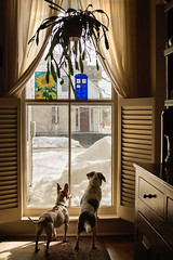 2/12  Pokey, Looking for Daddy (Boered) Tags: dogs window pokey darla houseplant snow shutters lookingfordaddy 12monthsfordogs18 tardis