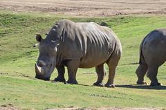 DSC_4304 (Andrew Nakamura) Tags: animal mammal rhino rhinoceros whiterhinoceros southernwhiterhinoceros southernwhiterhino grazing sandiegozoosafaripark safaripark escondido