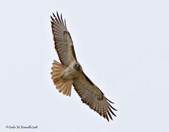 Red-tailed Hawk IMG_5670edtsg (cmescamilla) Tags: buteojamaicensis redtailedhawk aguililladecolaroja encinaltx