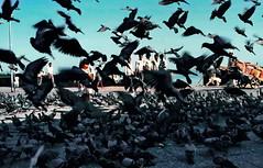 Pigeons, pigeons, pigeons... (gerard eder) Tags: world travel reise viajes asia southasia southernasia india mumbai bombay pigeons animals birds animales tiere tauben palomas städte street stadtlandschaft streetlife streetart city ciudades cityscape cityview urban urbanlife outdoor