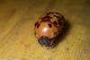 Parastasia sp. (GeeC) Tags: animalia arthropoda beetles cambodia coleoptera insecta kohkongprovince nature parastasia rutelinae scarabbeetles scarabaeidae scarabaeoidea tatai